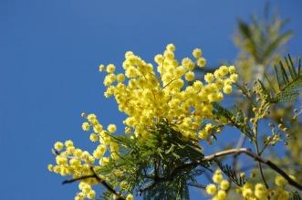 usanza-mimosa-8-marzo-1