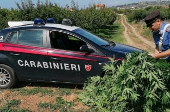 arresto per coltivazione di piante di marijuana (2)